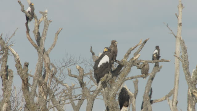 stockvideo's en b-roll-footage met steller's sea eagles (haliaeetus pelagicus) perched in tree. japan - kleine groep dieren