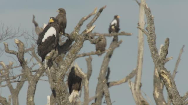steller's sea eagles (haliaeetus pelagicus) perched in tree. japan - kleine gruppe von tieren stock-videos und b-roll-filmmaterial