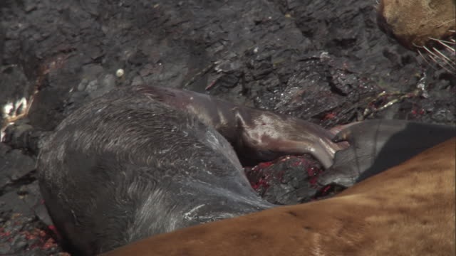 a steller's sea lion mother attends to her new born pup. available in hd. - seal pup stock videos & royalty-free footage