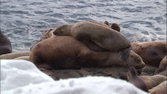 a steller's sea lion pup sleeps on top of its mother. available in hd. - seal animal stock videos & royalty-free footage