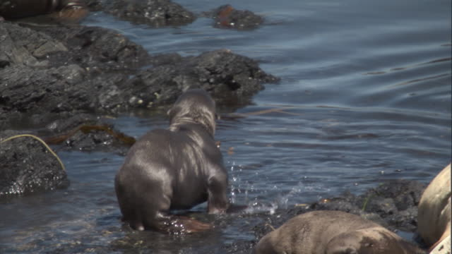 A Steller's sea lion pup wades through the shallows on the shore. Available in HD.