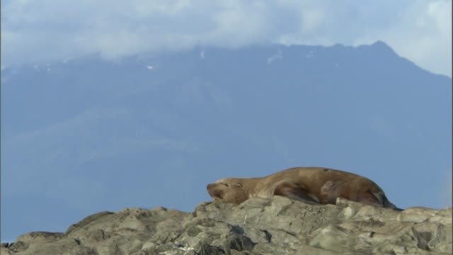 a steller's sea lion rests on a coastal boulder. available in hd. - juneau stock videos and b-roll footage