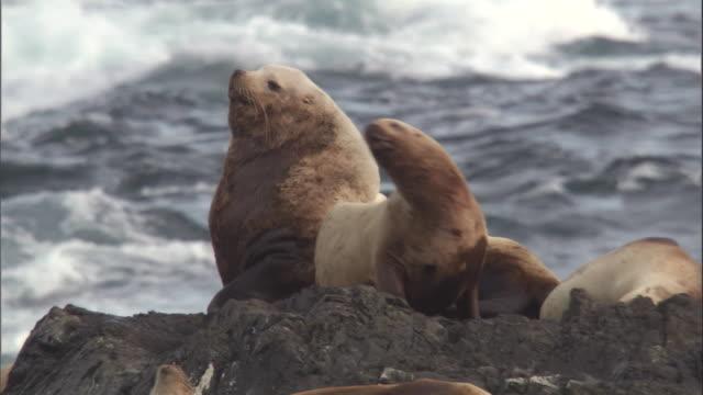 a steller's sea lion roars on a rocky shore. available in hd. - アシカ点の映像素材/bロール