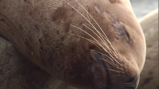 a steller's sea lion sleeps in a snow storm. available in hd. - sea lion stock videos & royalty-free footage