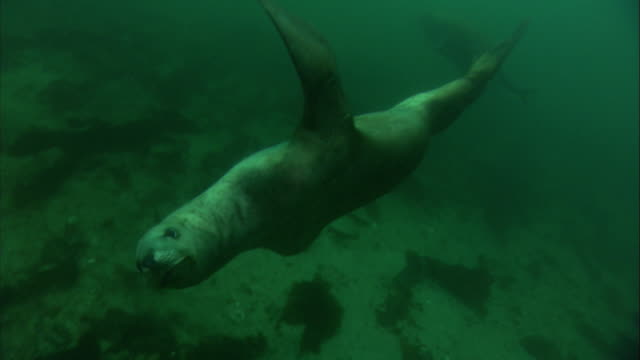 A Steller's sea lion swims in shallow water and blows bubbles. Available in HD.