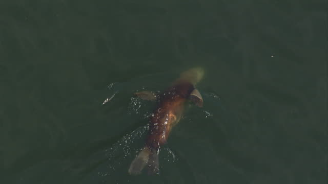 A Steller's sea lion twists and turns as it swims on the surface of the ocean. Available in HD.