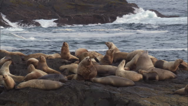 steller's sea lions cluster on a rocky coast. available in hd. - pacific ocean stock videos & royalty-free footage