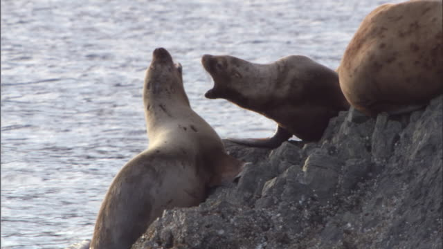 vidéos et rushes de steller's sea lions confront each other on a rocky coast. available in hd. - lion de mer