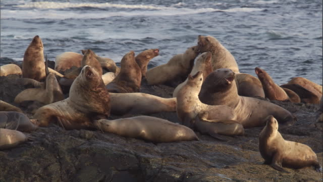 steller's sea lions interact and challenge each other. available in hd. - sea lion stock videos & royalty-free footage