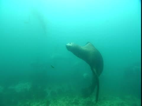 steller's sea lions swim in shallow water. - ダイビング用のフィン点の映像素材/bロール