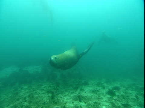 vídeos de stock e filmes b-roll de steller's sea lions swim in telegraph cove off vancouver island. - bbc