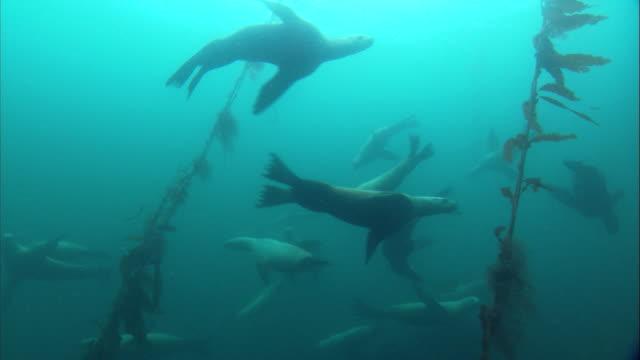 steller's sea lions swim past long stalks of seaweed. available in hd. - algae stock videos & royalty-free footage