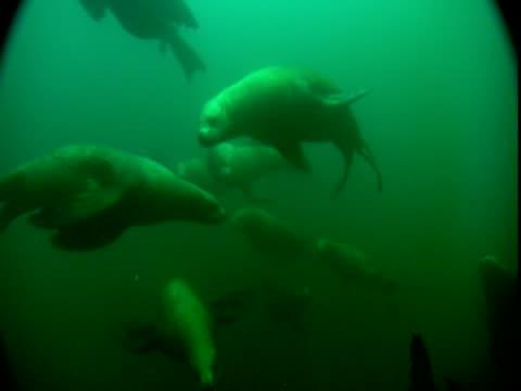 vídeos de stock, filmes e b-roll de steller's sea lions swim underwater in a green sea. - mamífero aquático