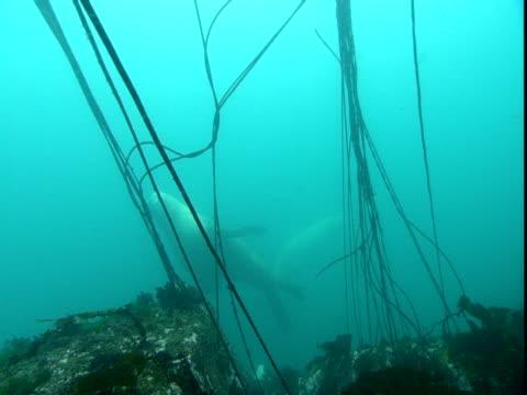 vídeos de stock, filmes e b-roll de a steller's sealion swims through blue waters. - mamífero aquático