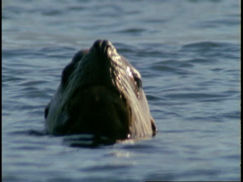 steller's sealions poke their heads above the surface of telegraph cove. - toccare con un dito video stock e b–roll
