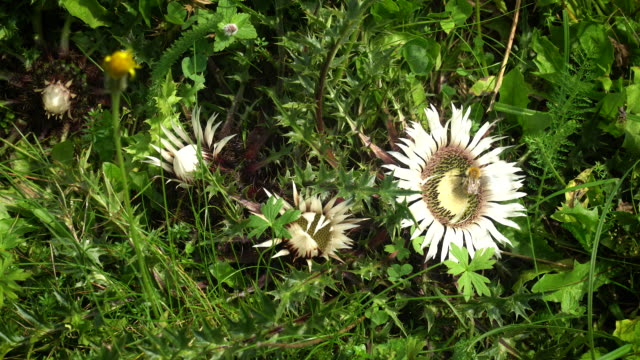 stemless carline thistle - sharp stock videos & royalty-free footage