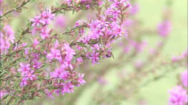 stems of purple loosestrife flowers bloom in a meadow. - shimane prefecture stock videos & royalty-free footage