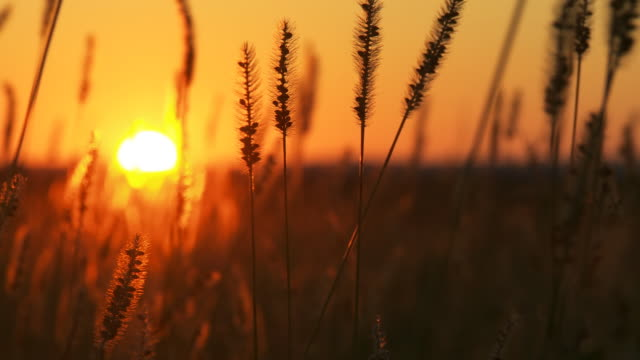 HD DOLLY: Stems Of Wheat At Sunset