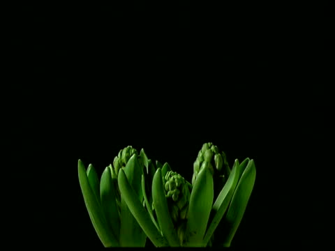 T/L MCU stems opening to white Hyacinth flowers, black background