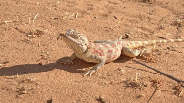 steppe agama lizard eating ants - lizard stock videos & royalty-free footage