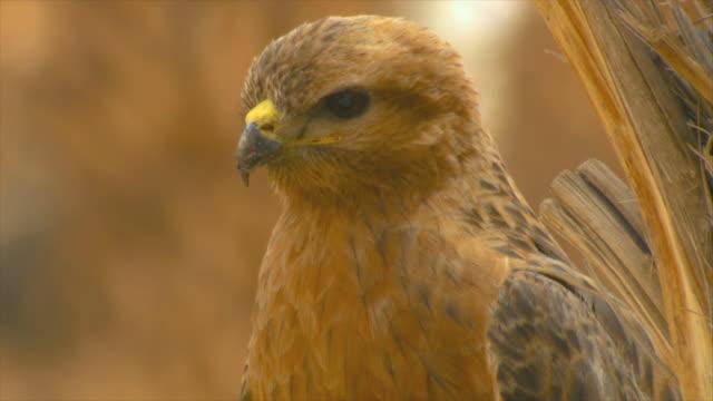 cu steppe buzzard standing in date plantation / eilat, negev desert, israel - habicht stock-videos und b-roll-filmmaterial