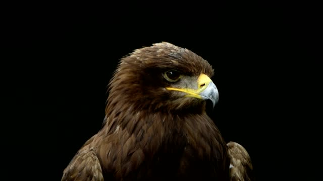 steppe eagle, aquila nipalensis, portrait - eagle stock videos & royalty-free footage