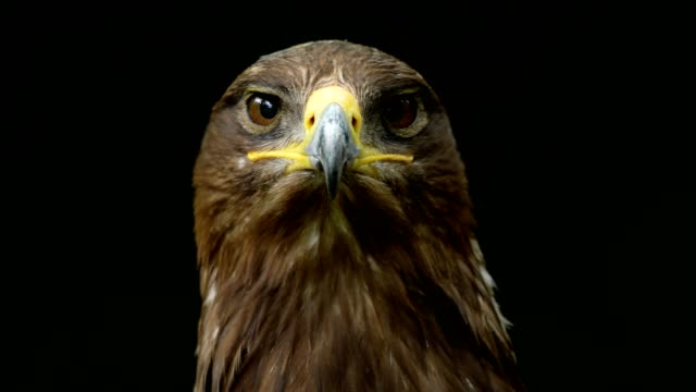 steppe eagle, aquila nipalensis, portrait - adler stock-videos und b-roll-filmmaterial