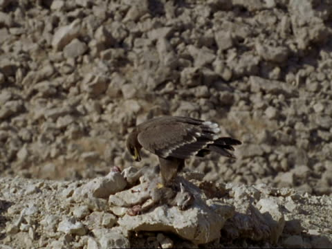 steppe eagle (aquila nipalensis) feeds on tahr corpse, oman - arabien stock-videos und b-roll-filmmaterial