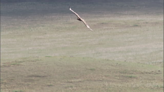 Steppe eagle flies over steppe, Mongolian steppe