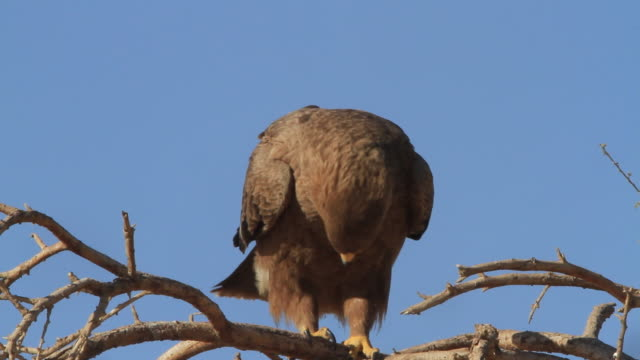 steppe eagle (aquila  nipalensis ) on dry acacia tree in the desert - アラバ砂漠点の映像素材/bロール