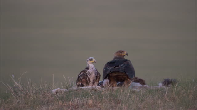 steppe eagle takes off from nest on steppe, mongolian steppe - small group of animals stock videos & royalty-free footage