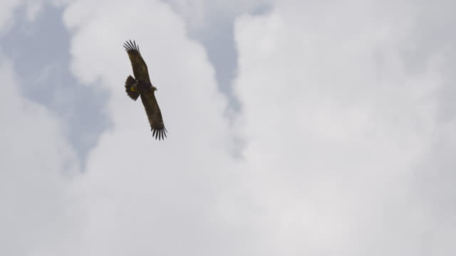 steppe eagle (aquila nipalensis) - eagle bird stock videos and b-roll footage