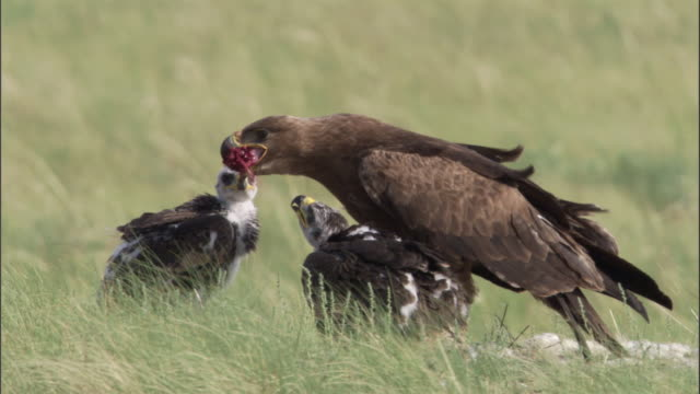 Steppe eagle with chicks feeds on steppe, Mongolian steppe