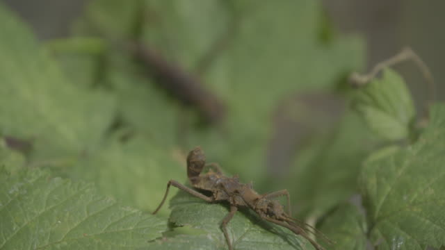 stick insect (phasmatodea) close up macro portrait - animal antenna stock videos & royalty-free footage