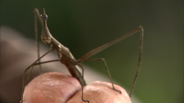 a stick insect perches on an entomologist's hand. - animal antenna stock videos & royalty-free footage
