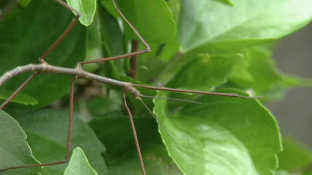 a stick insect - walking stick stock videos & royalty-free footage