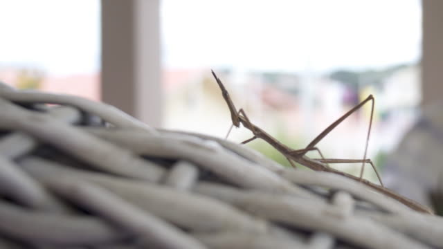 stick insect (phasmids) - walking stick stock videos & royalty-free footage