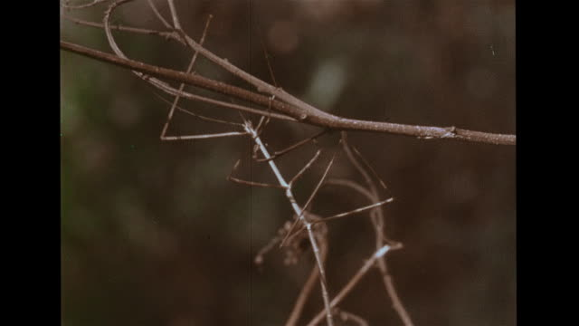 stick insects moving on twigs, dead leaf mimic rocking back & forth, displaying wings, vs leaf insects moving in habitats. rain forest, phasmids,... - anpassen stock-videos und b-roll-filmmaterial