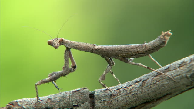cu stick mantis moving head from left to right / johannesburg, gauteng, south africa - walking stick stock videos & royalty-free footage