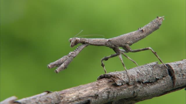 cu stick mantis sitting on branch / johannesburg, gauteng, south africa - walking stick stock videos & royalty-free footage