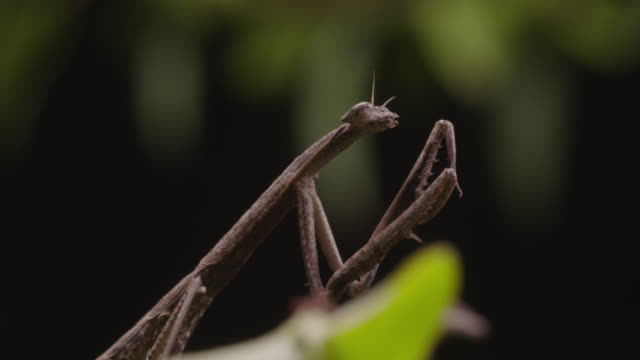 stick mantis - zoology stock videos and b-roll footage