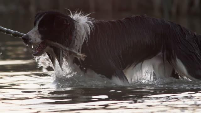 stick retrieving - collie stock videos & royalty-free footage