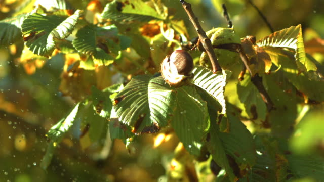 stick thrown at horse chestnut dislodges conkers - nut food stock videos & royalty-free footage