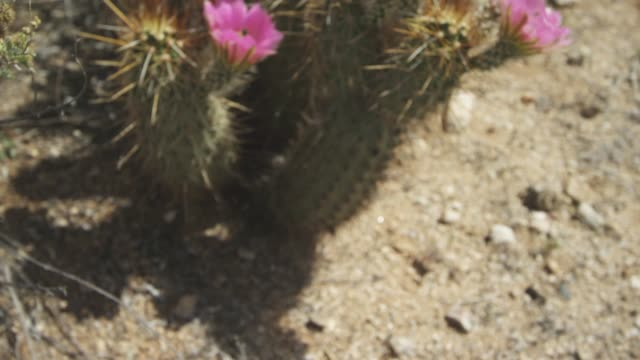 stigma and stamen of desert cactus - stamen stock videos & royalty-free footage