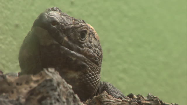 "vídeos de stock, filmes e b-roll de ""still close up of lizard native to el hierro, tenerife"" - hierro"