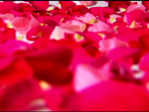 still-life of pink and red rose petals rack focusing to the foreground. - rose petals stock videos and b-roll footage