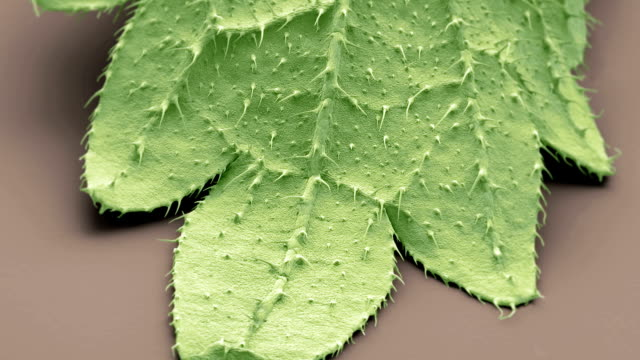 """""""stinging nettle leaf, sem"""" - injecting stock videos and b-roll footage"""