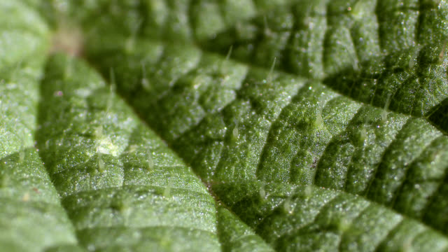 stinging nettle (urtica dioica) leaf - fotosintesi video stock e b–roll