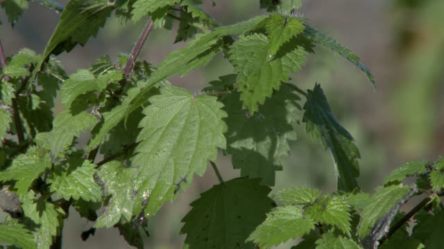 Stinging nettles blowing in the wind in south west Scotland