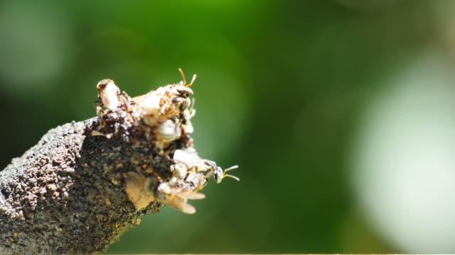 vidéos et rushes de stingless bee dans la nature. - sueur
